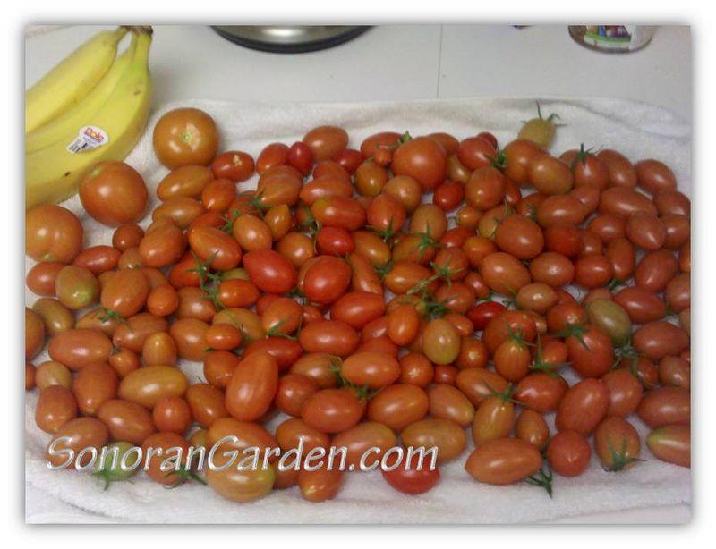 January 2011 tomatoes 2
